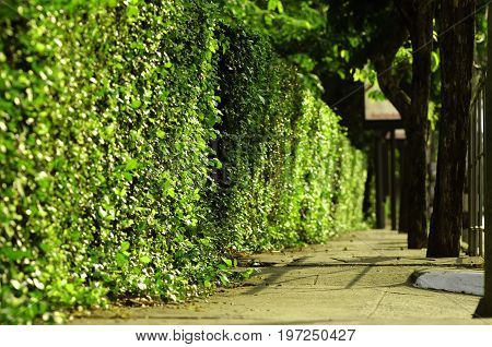Green hedge fence, a select focus on a green hedge that grow around the house use it as a fence between the house and public sidewalk a dense of green leaves from the hedge make it look like a wall