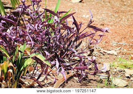 Tradescantia pallida is a species of spiderwort more commonly known as wandering jew