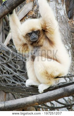 The lar gibbon (Hylobates lar) also known as the white-handed gibbon is an endangered primate in the gibbon family
