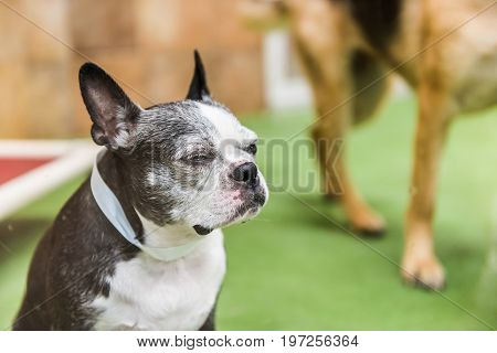 Closeup Of Boston Terrier Dog Squinting Eyes In Training Facility