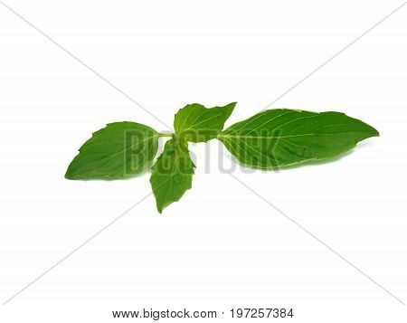 Upper leaves of natural basil on white background. It's food ingredient, spice, herb, traditional medicine, extract for aroma therapy. Black dots on this organic vegetable occur after kept in fridge.