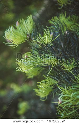 Fresh needles grown on the tips of a fir branch