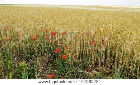 Summer picture of wheatfield in central France