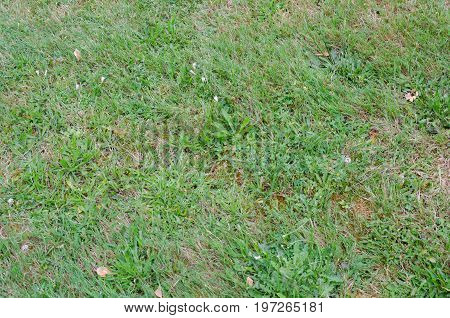 Grass lawn in bad condition with lots of weeds