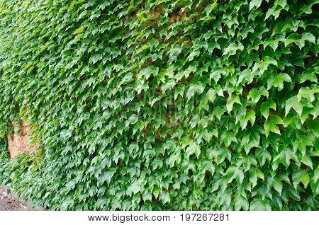Virginia creeper growing on a stone wall