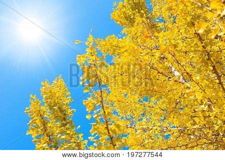 Japan autumn travel nature background. Yellow Ginko tree with blue sky sunnt day in Osaka city.