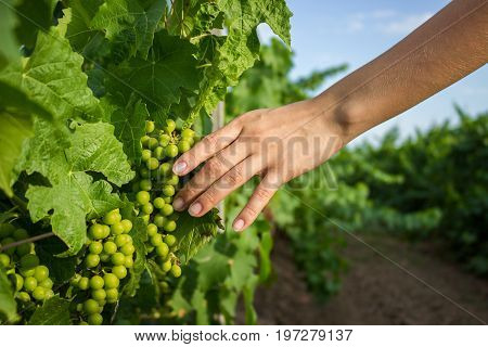 The girl's hands touch the harvest of the grapes. Farmer examining growing grapes