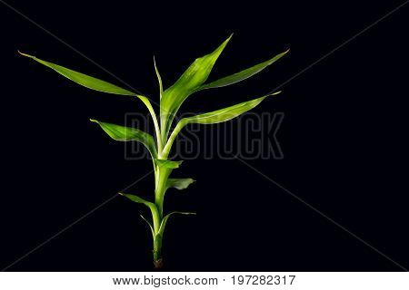 Ecology concept image with bamboo stalk on black background