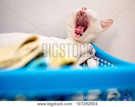 White Cat Yawning on Blue Basket . .