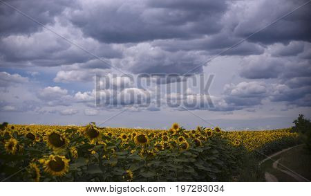 A dirt road along the edge of a field of sunflowers under a blue cloudy sky in a hot summer afternoon.