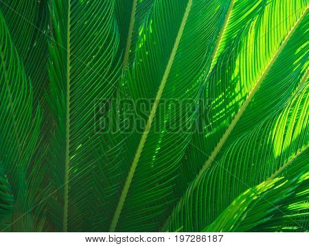 Long spiky palm tree leaves in beautiful geometrical pattern hazy sunlight beams botanical foliage tropical background text ready copy space