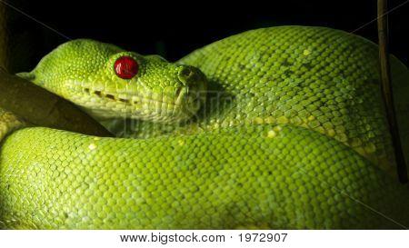 Red Eyed Snake