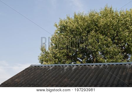 Grey roof and green oak tree. Nature