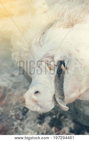 Pig Head During Home Pig Butchering 2