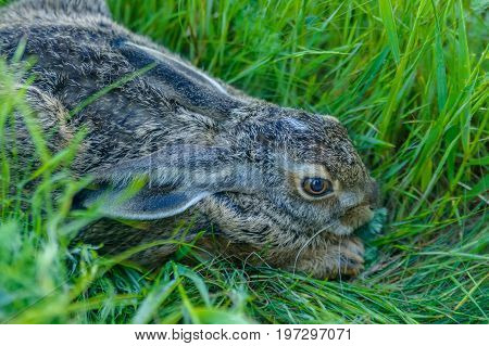 Closeup grey rabbit sitting in green grass looking scared