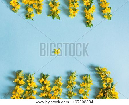 Festive yellow flower arrangement of loosestrife, lysimachia on blue background. Top view, flat lay.