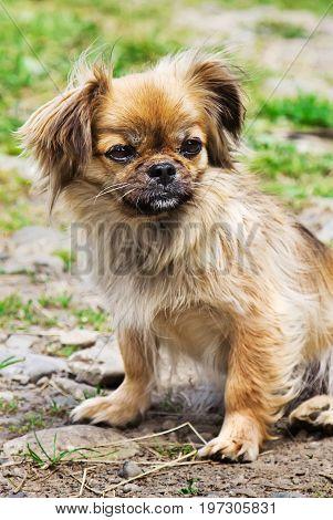 Portrait Of Pekingese Dog On A Grass Outdoor