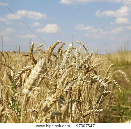 Ears Of Wheat On White