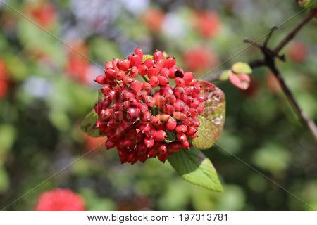 The fruit Viburnum lantana. Is an green at first, turning red, then finally black, wayfarer or wayfaring tree is a species of Viburnum