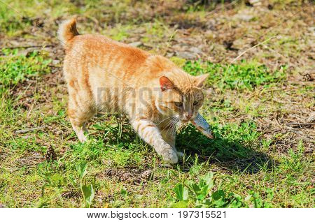 Ginger the stray cat in nature in summer day