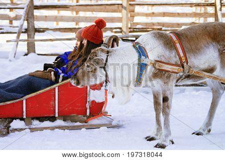 Rovaniemi Finland - March 5 2017: Reindeer sled caravan safari with girls in winter forest in Rovaniemi Lapland Northern Finland.