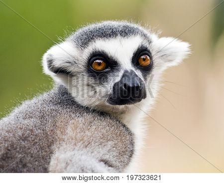 A closeup of the head of a ring-tailed lemur (Lemur catta)