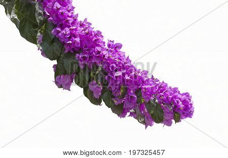 Isolated on white background a blossoming bougainvillea shrubs