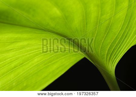 Macrophotography of curve pattern beautiful green leaf