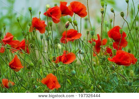 poppy. red poppy. Flowers Red poppies blossom on wild field. Beautiful field red poppies with selective focus