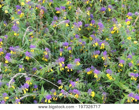 Melampyrum nemorosum is an herbaceous flowering plant in the broomrape family