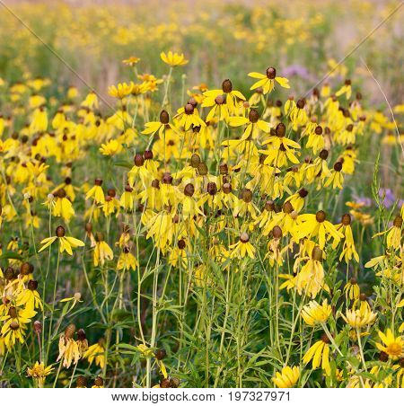 Black Eyed Susans appear in a sunny meadow.