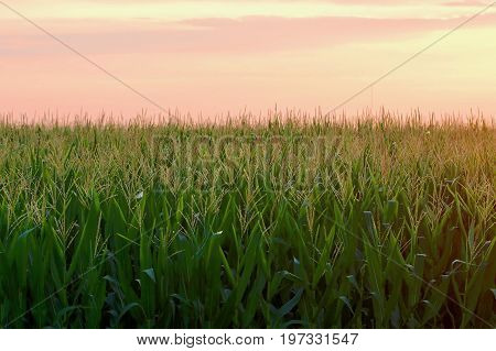 The mature green corn occupies the bottom two thirds with the sunset sky occupying the upper third.