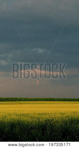 Field of flowering rapeseed and thunderous sky countryside