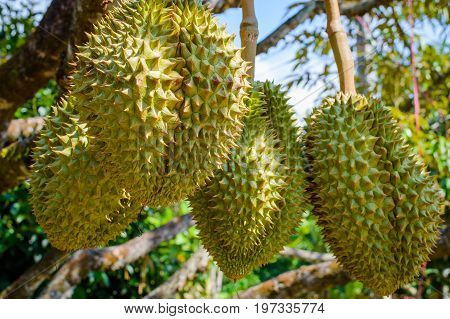Whole Durians Fruit On The Durian Tree Branch In The Garden Of Thailand