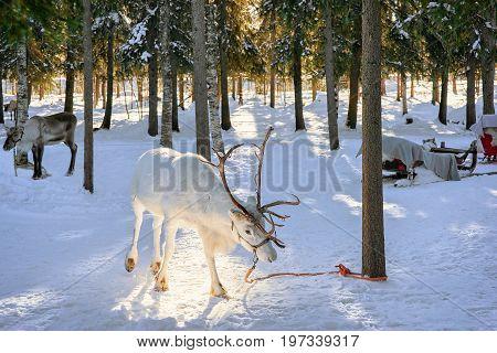 White Reindeer In Farm At Winter Lapland Northern Finland