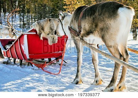 Reindeers With Sleigh In Winter Forest In Lapland Northern Finland