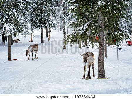 Reindeers In Farm In Winter Lapland Northern Finland