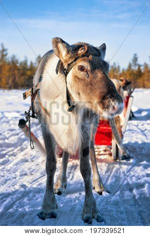 Reindeer With Sledge In Winter Forest In Lapland Northern Finland
