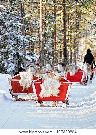Reindeer Sledge Caravan Safari And People Forest Lapland Northern Finland