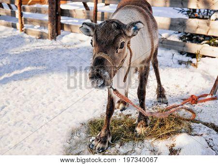 Reindeer On Farm In Winter Northern Finland