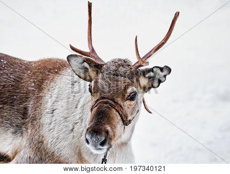 Reindeer On Farm In Winter Lapland Northern Finland