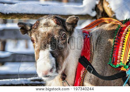 Reindeer In Farm Winter Lapland Northern Finland