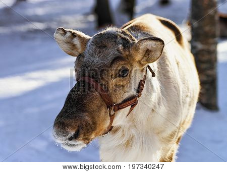 Reindeer In Farm In Winter Northern Finland