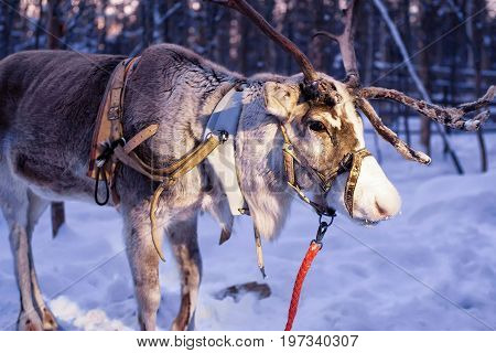 Reindeer In Farm In Lapland Northern Finland Evening