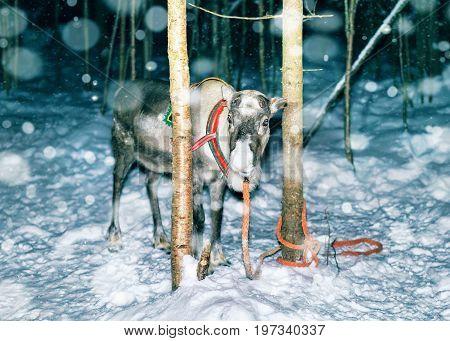 Reindeer In Farm In Lapland Northern Finland Night Snowfall