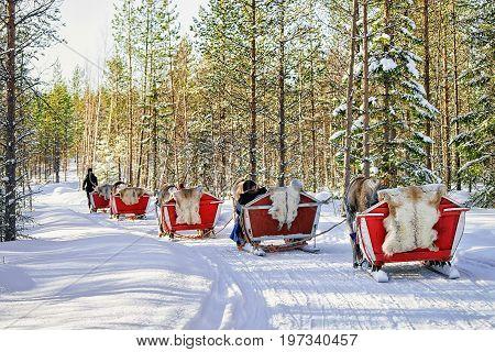 Reindeer Caravan Safari With People Forest Lapland Northern Finland