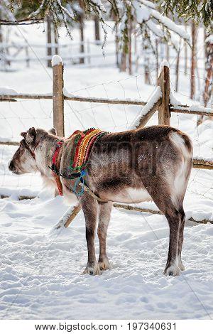 Reindeer At Farm Winter Lapland Northern Finland