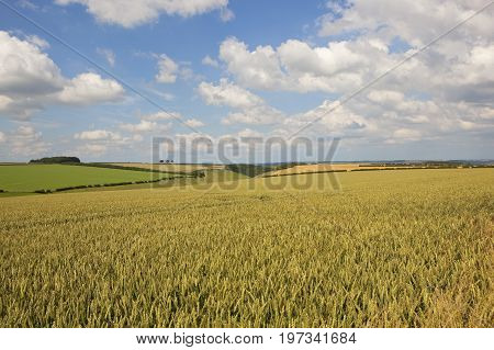 Ripening Wheat Field