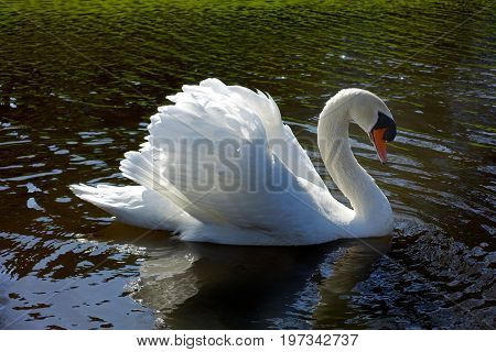 One Big White Adult Beautiful Swan Posing And Swimming In A Brown Water Lake On A Sunny Afternoon.
