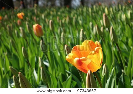 One Yellow Tulip With Open Petals In A Field Of Tulips With Closed Green Petals Growing In The Sun A